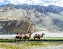 Bactrian kamel på den Hudar dalen Royaltyfria Foton