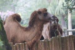 Bactrian kamel på Taipei ZooTaipei Arkivfoto