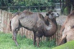 Bactrian kamel på Taipei ZooTaipei Royaltyfria Foton