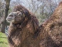 Bactrian kamel på vårlantgården Royaltyfri Fotografi