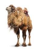 Bactrian kamel på vit bakgrund Arkivfoto