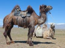 Bactrian kamel som sadlas för att rida Arkivbild