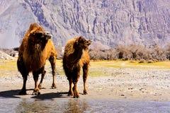 Bactrian Kamele Lizenzfreie Stockfotografie