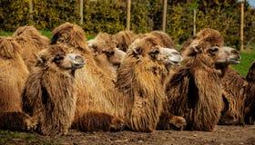 Bactrian Kamele Camelus bactrianus stockfotos