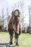 Bactrian Kamele am Frühlingsbauernhof Lizenzfreie Stockfotografie