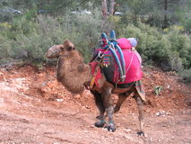Bactrian ringendes Kamel, die Türkei Stockfotos