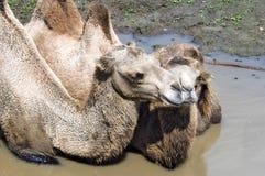 bactrian wielbłądów bactrianus camelus otwór błotem Zdjęcie Stock