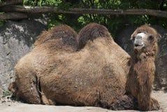Bactrian wielbłąd (Camelus bactrianus) Zdjęcia Stock