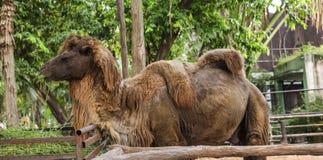 Bactrian wielbłąd dwa garbu dla przechować sadło nawracającego nawadniać i energię gdy wartość dostępna Te dają wielbłądom abilit fotografia stock