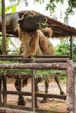 Bactrian wielbłąd dwa garbu dla przechować sadło nawracającego nawadniać i energię gdy wartość dostępna Te dają wielbłądom abilit obrazy royalty free