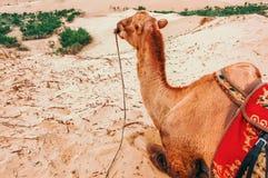 Bactrian wielbłąd odpoczywa na piasek diunie, Mongolia obraz royalty free