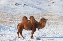 Bactrian wielbłąd w śnieżnym mongolian stepie Fotografia Stock