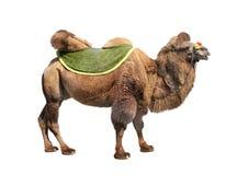 Bactrian wielbłąda Camelus bactrianus Zdjęcia Royalty Free