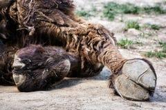 Bactrian wielbłąda racicowy szczegół, zwierzęcy temat (Camelus bactrianus) Fotografia Royalty Free