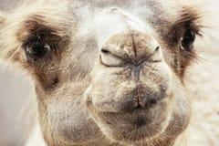 Bactrian wielbłąda zbliżenia humorystyczny portret zdjęcia royalty free