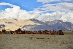 Bactrian wielbłądy w himalajach Zdjęcie Stock