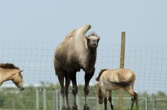Bactriane camel Stock Photography