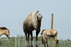 Bactriane camel Stock Photography