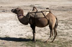 Bactriane camel in the Kungur range Royalty Free Stock Photos