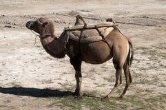 Bactriane Kamel in der Kungur Reichweite Lizenzfreie Stockfotos