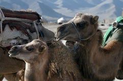 Bactriane Kamele in der Kungur Reichweite Stockbild