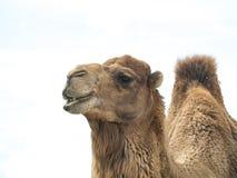 Bactrianus Camelus верблюда при смешное выражение изолированное на whi Стоковая Фотография RF
