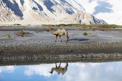 Bactrianus Camelus Bactrian верблюда в долине Nubra, Ladakh, Индии Стоковое фото RF
