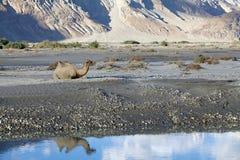 Bactrianus Camelus Bactrian верблюда в долине Nubra, Ladakh, Индии Стоковое Изображение