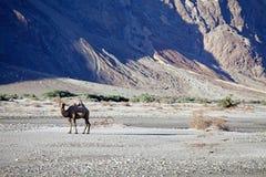 Bactrianus Camelus Bactrian верблюда в долине Nubra, Ladakh, Индии Стоковое Фото