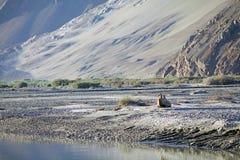 Bactrianus Camelus Bactrian верблюда в долине Nubra, Ladakh, Индии Стоковые Изображения RF
