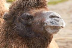 Bactrianus Camelus Bactrian верблюда Стоковое Фото