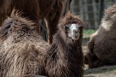 Bactrianus Camelus Bactrian верблюда Стоковое Изображение RF
