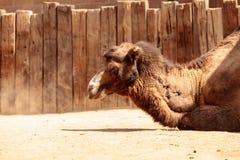 Bactrianus Camelus Bactrian верблюда Стоковая Фотография RF