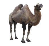 Bactrianus Camelus Bactrian верблюда на белой предпосылке Стоковая Фотография