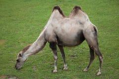 Bactrianus Camelus Bactrian верблюда Стоковые Изображения RF