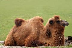 Bactrianus do Camelus - camelo Imagem de Stock
