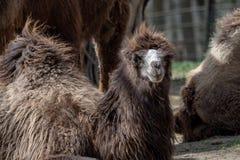 Bactrische bactrianus van kameelcamelus Royalty-vrije Stock Afbeelding