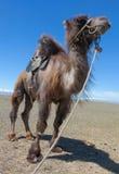 Bactrische die kameel voor het berijden wordt gezadeld Royalty-vrije Stock Afbeelding