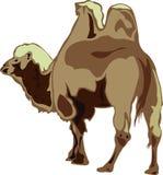 Bactrische kameel Royalty-vrije Stock Fotografie