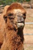 Bactrische kameel stock foto