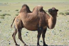 Bactrische kameel Stock Afbeelding