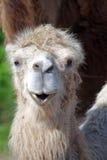 Bactrische kameel, Camelus bactrian royalty-vrije stock foto's