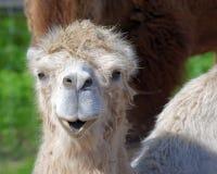 Bactrische kameel, Camelus bactrian stock foto's