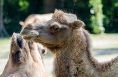 Bactrische kameel, Camelus-bactrianus in een Duitse dierentuin stock foto