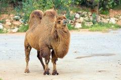 Bactrische kameel & x28; Camelus bactrianus& x29; royalty-vrije stock afbeeldingen