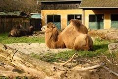 Bactrische Kameel (camelusbactrianus) stock foto's