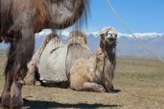 Bactrische kameel die voor het berijden wordt gezadeld Stock Afbeelding