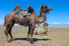 Bactrische kameel die voor het berijden wordt gezadeld Royalty-vrije Stock Afbeeldingen