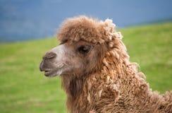 Bactrische kameel hoofd dichte omhooggaand stock foto