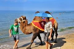 Bactrische kameel op het strand Stock Foto's
